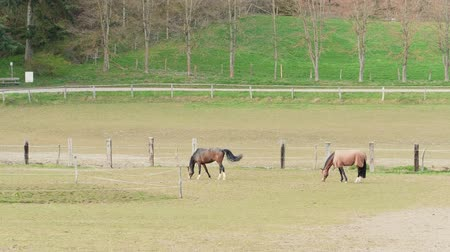 koń : Two brown grazing horse near fence and forest trees on horse farm at warm spring day. Horses eating green grass in country landscape. Young horse grazed on meadow. Domestic animals on summer pastures