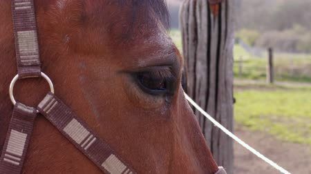 castanha : Close-up of brown horse tossing its head and looking away to greens from fence. Brown horse eye with eyelashes near fence. Horse head with halter at country meadow. Young horse looking on farm at day