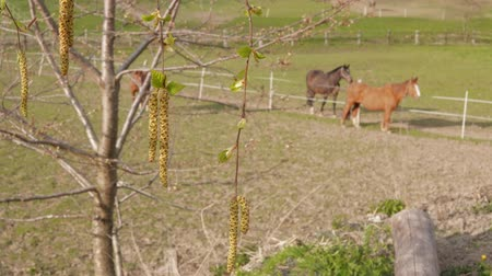 padok : Birch branch with aglets and grazing brown horses in farm paddock as background at spring day. Birch-tree with earrings and domestic animals on pastures. Ranch horse. New beginning concept. Calmness Stok Video