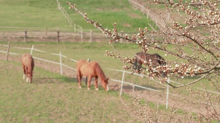 pereira : White flower buds of fruit tree and brown grazing horses in farm paddock at spring day. Apple tree branch and domestic animals on pastures. New beginning concept on ranch. Flowering. Calmness. Nature