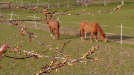 şişme : Maple burgeons on branch and brown grazing horses in farm paddock at spring day. Swelling of buds on tree and domestic animals on pastures. Frondescence, bud shooting. New beginning concept on ranch Stok Video