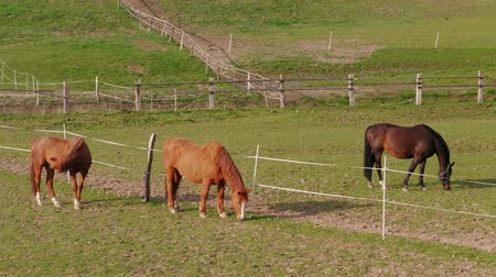 padok : Three grazing brown horses at fence in farm paddock at spring day. Horse eating green grass in country landscape. Horses grazed on meadow. Domestic animals running on pastures. Depasturing on ranch Stok Video