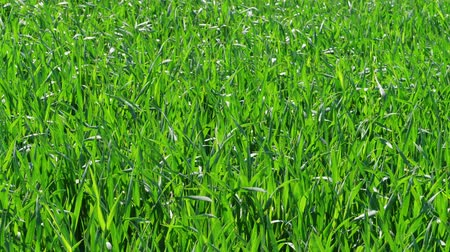 çimenli : Green grass field at sunny windy spring day, nature background. Healthy lawn ground with young wheat under wind, closeup. Cereal plant, bread corn, rye, oat, rice. Landscape herbage. Garden in summer Stok Video
