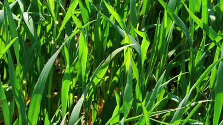 reszelt : Close-up of green grass on field at sunny windy spring day, nature background. Healthy lawn ground with young wheat under wind, closeup. Cereal plant, bread corn, rye, oat, rice. Landscape herbage