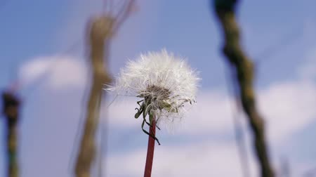 хрупкий : Growing white dandelion blowball against blue sky in spring vineyard. Ripe flower with seeds on blowing wind, close-up. Stability, hardiness and frailty, change and wish concept. Weed plant in summer Стоковые видеозаписи