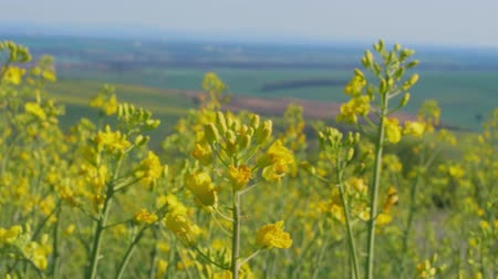 oleaginosa : Closeup of flowering rapeseed canola field at spring day with country in background. Yellow colza flowers for bio fuel production. Oilseed rape for green energy and oil industry. Clean fuel concept