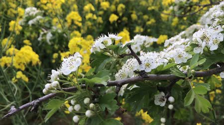 meidoorn : Witte meidoornbloemen en bloeiend geel raapzaad als achtergrond. Lente concept. Bloeiende tak van crataegus, quickthorn, thornapple, mei-boom, witdoorn, hawberry boom in winderige dag. Lente