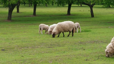 gyapjas : Grazing white sheep on green field near trees at spring day. Herd of sheep and lambs on pasture. Flock grazed grass. Livestock agriculture on dairy farm. Domestic animals graze. Feeding woolly ewes Stock mozgókép