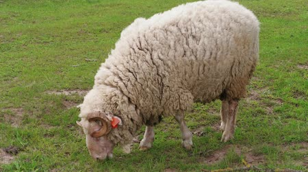 ewe : One woolly white sheep with visible orange ear identification tags grazing on green pasture at spring day. Herd of sheep on field. Flock, young sheep grazed grass. Livestock agriculture on dairy farm Stock Footage
