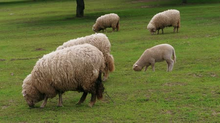 ewe : White dirty sheep and lambs grazing and going by green pasture at spring day. Flock of young sheep grazed grass. Herd of sheep on field. Livestock agriculture on dairy farm. Domestic animals graze