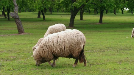 gyapjas : White dirty sheep grazing on green pasture at spring day. Flock of young sheep grazed grass. Herd of sheep on field. Livestock agriculture on dairy farm. Domestic animals graze. Agricultural ecology