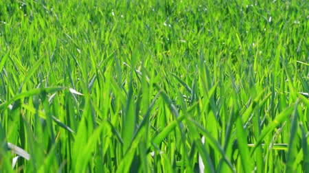 grain bread : Green grass under blowing breeze, wheat field at spring day. Nature background and wind before storm. Lawn ground, young wheat on field. Cereal plant, bread corn, rye, oat, rice. Grassland. Foliage
