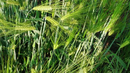 sponka : Grain head growing green rye on farm field at spring day, agriculture, top view. Ripening ears of young bearded wheat. Awned wheat, cereal plant, bread corn growth. Rich harvest concept. Grassland Dostupné videozáznamy