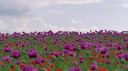 vlčí máky : Blossom of red and purple poppy field against blue cloudy sky. Flowering Papaver with unripe seed heads at windy day. Maturing blue poppy flowers with pods in agriculture. Medical plants with straws Dostupné videozáznamy