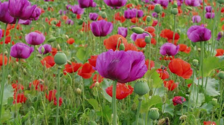 цветущий : Blossoming purple and red poppies with unripe straws on farm. Plant breeding, genetic modification of plants. Drug, medicinal herb in agriculture. Color concept. Blue poppy field blooming. Flowering Стоковые видеозаписи