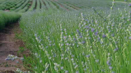 lavanda : Initial blossom of growing lavender shrub in rows on field. Lavender germination at summer day. Culinary herb, plants for extraction of essential oil. Medicinal herb in agriculture. Medical plant