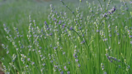 посвящение : Closeup of growing lavender, early flowering at summer. Culinary herb, plants for extraction of essential oil. Medicinal herb in agriculture. Lavandula on farm. Medical plant. Blossom of lilac flowers