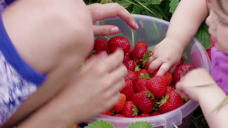 selecionando : Children hands manually sort out ripe red garden strawberries in bucket outdoor, handheld shot. Boy and little girl harvesting berries at summer day. Attracting kids to agriculture, picking strawberry Stock Footage