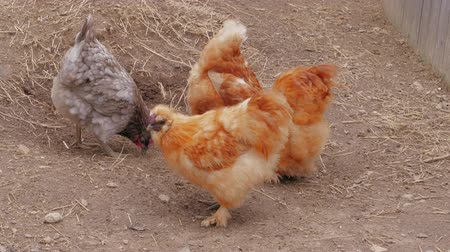 bantam : Fluffy Silkie chickens pecking thumbs in free range at farm. Little Chinese silk chicken hens feeding. Silkies poultry. Chicken farming with organic lifestyle. Silkie bantam dab, breeding. Farming