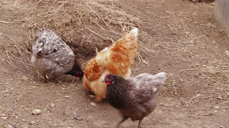bantam : Chickens pecking feed in free range on barnyard at poultry farm. Fluffy Silkie chickens pecking. Chinese silk chicken ranch hens feeding. Chicken farming with organic lifestyle. Bantam dab, breeding