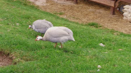 free range : Domestic guineafowl pecking feed on green grass of in free range barnyard at poultry farm, handheld shot. Pintades breeding with organic lifestyle. Guinea fowl feeding, avian farming, plume. Gleanies