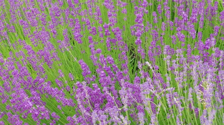 essencial : Growing blooming lavender, flowering at summer windy day, handheld shot. Culinary herb, plants for extraction of essential oil. Medicinal herb in agriculture. Lavandula flowers on farm. Medical plant