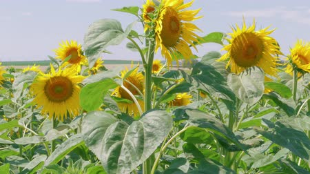 忠誠心 : Field of growing blooming sunflowers at sunny summer day. Yellow flowers in agriculture landscape. Blossom of sunflower hearts at farm. Adoration, loyalty, long life, good fortune, vitality concept