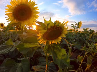 disposição : Field of blooming sunflowers at sunset, blue sky with clouds, handheld shot. Yellow flowers in agriculture. Blossom of sunflower hearts at farm. Adoration, loyalty, long life, good fortune concept