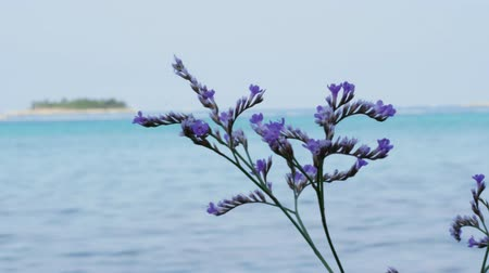 Blooming purple limonium plant on wind against sea, island, blue sky, handheld shot. Sea lavender lilac flowers near Adriatic beach. Closeup of flowering violet sea-lavender at resort aquamarine waves