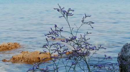 Flowering lilac limonium plant against blue sea with stones, handheld. Sea-lavender purple flowers on Adriatic beach, sunken rocks. Sea lavender. Blossom on aquamarine waves background, hidden reefs