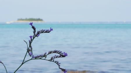 Flowering violet limonium plant against sea, tropical island, blue sky, handheld shot. Sea-lavender purple flowers on Adriatic beach. Closeup of blooming lilac sea lavender on aquamarine background