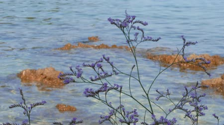 Flowering lilac limonium flowers against clear sea water and reefs at windy day, handheld. Sea-lavender purple plant on Adriatic beach, sunken rock. Sea lavender blossom on aquamarine waves background