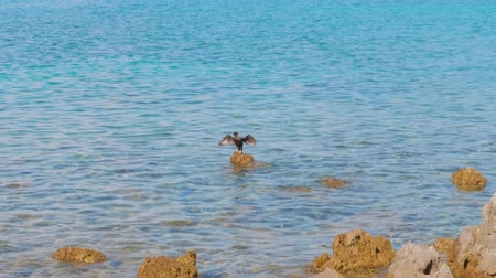 Great Cormorant spreading wings on reef, diving in sea, coming up to surface, gulls flying over water, handheld. Black seabird on stone, jumping to sea, resurfacing. Nobility, indulgence concepts