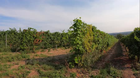 szőlőművelés : Rows of grape trunks with bunches of ripe white vine berries and grassy lanes between bushes grown in vineyard farm, trucking shot. View to vinery lines with growing grapes and green leaves, sunny day