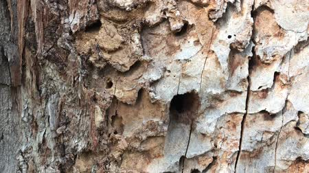 morrer : European spruce bark beetles holes on old spruce stem. Barkbeetle tunnels and tracks on tree bole. Catastrophic forest die-back concept. Handheld shot. Diseased tree attacked by insects. Wormholes Stock Footage