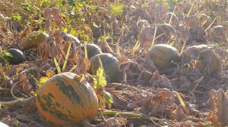 folt : Growing ripe orange and green pumpkins on farm field at sunny day, autumn agriculture. Vegetable ready to be harvested. Pumpkin garden. Thanksgiving and Halloween preparation. Orange pumpkin growth Stock mozgókép