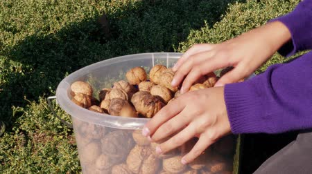 Full plastic bucket of walnuts, hands sorting nuts in garden. Harvest of ripe walnuts on green grass at family farm, boy picking over fruits and trying to crack nut. Wisdom, growth, fertility concepts