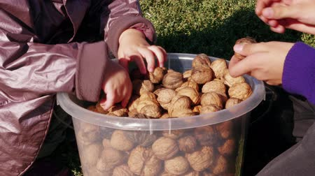 Children play with walnuts in full plastic bucket, kids hands sort nuts in garden. Harvest of ripe fruits at family farm, teen boy and little girl pick over nuts and have fun. Wisdom, growth concepts