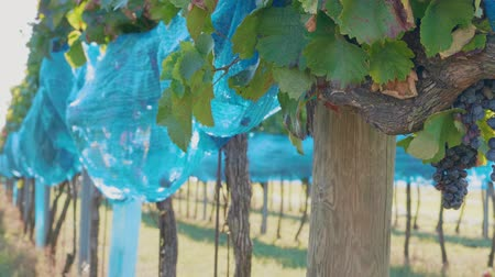 Vineyard with dark grape covered by blue bird protection net. Netting protecting of wine crop at farm. Bird-pecked grapes under net in winery before harvest. Bunches of ripe purple vine growing in row
