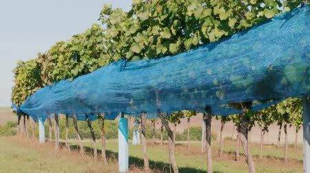 Vineyard row of grape covered by blue bird protection net. Netting protecting of wine crop at farm. Bird-pecked grapes under net in winery before harvest. Bunches of ripe purple vine growing in row