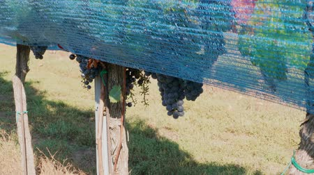 Row of grape covered by blue bird protection net in vineyard at sunny autumn day, bunches of heavy ripe purple vine growing in line. Netting protecting of wine crop at farm. Bird-pecked berries in net Стоковые видеозаписи