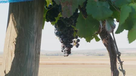viticultura : Dried bunch of dark grapes in row covered by blue bird protection net in vineyard at sunny autumn day. Heavy ripe purple vine growing in line. Netting protecting of wine crop at farm. Winery harvest Stock Footage