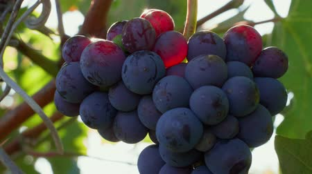 Closeup of growing dark grape bunch with sunbeams on berries under wind and green leaves at sunny autumn day. Heavy ripe purple vine growing in vineyard. Berries with white bloom on bush at windy day Стоковые видеозаписи