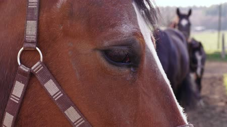 stabilní : Brown horse sight, animal near other pets in farm paddock at day, handheld. Horse eye, white strip on bridge of nose, halter, dark horses at country ranch as background. Domestic animals near pasture