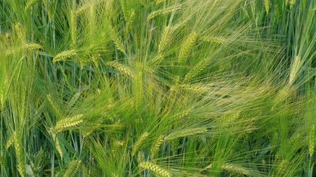 Unripe green wheat kernels before harvest at windy day. Beautiful cereal field in summer. Concept of rich harvest, green grass corn crop. Symbol of abundance, life, fertility. Diet concept, handheld