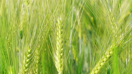 Closeup unripe green wheat kernels before harvest at windy day. Beautiful cereal field in summer. Concept of rich harvest, green grass corn crop. Symbol of abundance, life, fertility. Diet concept
