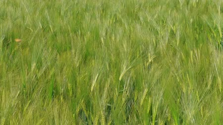 reszelt : Beautiful wind waves on green wheat kernels filed before harvesting at windy day, handheld. Cereal plant growing in summer. Concept of rich harvest, grass crop. Symbol of abundance, life, fertility
