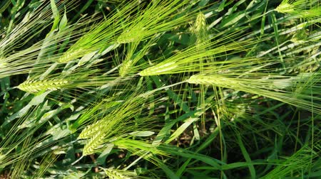 Top view on green wheat kernels filed before harvesting, summer agriculture, handheld. Growing cereal plants. Concept of rich harvest, grass crop. Symbol of abundance, life, fertility. Diet concept