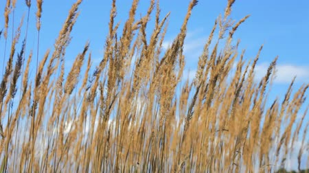 sazlık : Reed on Lake