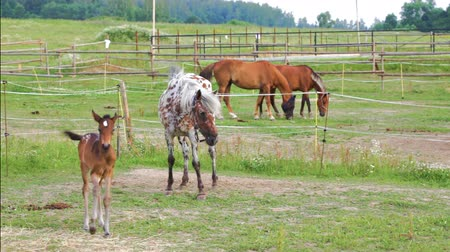 sivilceli : Small brown foal and spotty mare in a shelter Stok Video